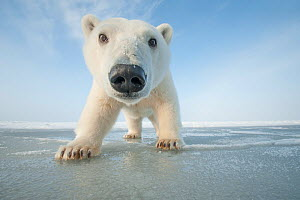 Polar bear (Ursus maritimus) curious young bear approaches over newly forming pack ice during autumn freeze up, Beaufort Sea, off Arctic coast, Alaska  -  Steven Kazlowski