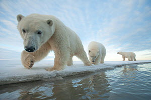 Polar bear (Ursus maritimus) sow with two juveniles walk along the ice edge during autumn freeze up, Beaufort Sea, off Arctic coast, Alaska  -  Steven Kazlowski