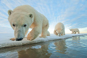 Polar bear (Ursus maritimus) mother with two juveniles walking along ice edge during autumn freeze up, Beaufort Sea, off Arctic coast, Alaska - Steven Kazlowski