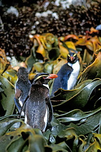 Snares-crested penguins ( Eudyptes robustus) on shore, among kelp Snares Island, New Zealand Subantarctic Islands. Endemic. Vulnerable species.  -  Mark Jones