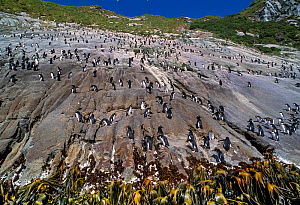 Snares-crested penguin ( Eudyptes robustus) group climbing steep route to colony. Snares Island, New Zealand Subantarctic Islands. Endemic. Vulnerable species.  -  Mark Jones