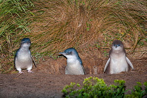 Little blue / fairy penguin (Eudyptula minor) adults with almost fully feathered chick at entrance to nesting burrow, Neck Game Reserve, Bruny Island, Tasmania, Australia, November. - Tui De Roy
