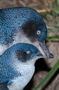 Little blue / fairy penguin (Eudyptula minor) pair courting near nesting burrow, Neck Game Reserve, Bruny Island, Tasmania, Australia, December. - Tui De Roy