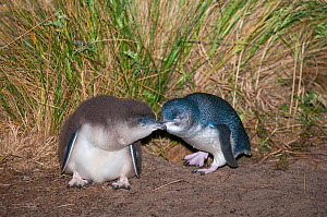 Little blue / fairy penguin (Eudyptula minor) adult with almost fully feathered chick, at nesting burrow, Neck Game Reserve, Bruny Island, Tasmania, Australia, November. - Tui De Roy