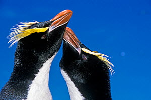 Erect-crested penguin (Eudyptes sclateri) pair in greeting display. Antipodes Island, New Zealand Sub-Antarctic Islands. Endemic to Antipodes and Bounty Islands. Endangered species.  -  Tui De Roy