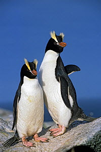 Erect-crested penguins (Eudyptes sclateri) pair. Proclamation Island, Bounty Islands, New Zealand Sub-Antarctic Islands. Endemic to Antipodes and Bounty Islands. Endangered species.  -  Tui De Roy