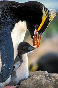 Erect-crested penguins (Eudyptes sclateri) feeding young chick. Antipodes Island, New Zealand Sub-Antarctic Islands. Endemic to Antipodes and Bounty Islands. Endangered species. - Tui De Roy