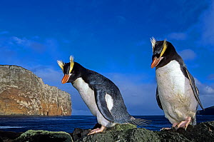Erect-crested penguin (Eudyptes sclateri) pair. Antipodes Island, New Zealand Sub-Antarctic Islands. Endemic to Antipodes and Bounty Islands. Endangered species.  -  Tui De Roy
