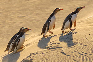 Four Yellow-eyed penguins (Megadyptes antipodes) walking up a sand dune towards their nests, Otago Peninsula, Otago, South Island, New Zealand. September. Endangered Species.  -  Andy  Trowbridge