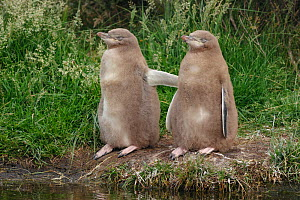 Two Yellow-eyed penguin (Megadyptes antipodes) chicks standing together. Otago Peninsula, Otago, South Island, New Zealand, January. Endangered Species.  -  Andy  Trowbridge