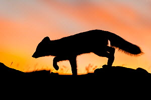 Arctic fox (Alopex / Vulpes lagopus) stalking / hunting silhouetted against a colourful sky at sunset. Dovrefjell National Park, Norway, September. - Andy  Trowbridge