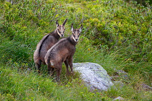 Two juvenile Chamois (Rupicapra rupicapra) standing together. Bernese Alps, Switzerland. August.  -  Andy  Trowbridge