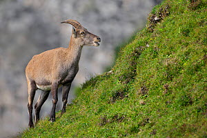RF- Female Alpine ibex (Capra ibex) feeding. Bernese Alps, Switzerland. August. (This image may be licensed either as rights managed or royalty free.)  -  Andy Trowbridge