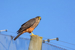 Female New Zealand Falcon (Falco novaeseelandiae) perched on fence post. Oreti Valley, South Island, New Zealand. January. Endemic. - Andy  Trowbridge