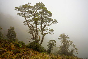 Silver beech (Lophozonia / Nothofagus menzeseii) in mist. Arawhata River, West Coast, South Island, New Zealand. January.  -  Andy  Trowbridge