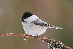 Willow tit (Poecile montanus) perched on branch. Kuusamo, Finland, March.  -  Andy  Trowbridge
