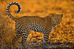 African leopard (Panthera pardus) South Luangwa, Zambia.  -  Andy  Rouse