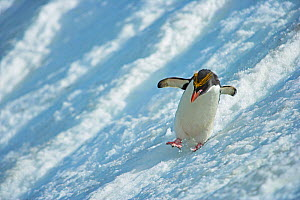 Macaroni Penguin (Eudyptes chrysolophus) sliding down glacier, South Georgia. See 0150019 for cropped version. - Andy  Rouse
