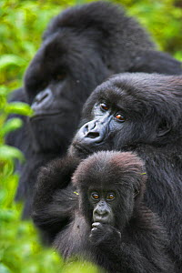Mountain gorilla (Gorilla beringei beringei) mother with young, and silverback in background. Virunga Mountains, Rwanda. Non-ex. - Andy  Rouse