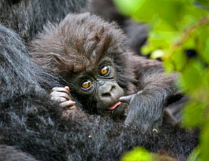 Mountain gorilla (Gorilla beringei) baby held by mother, Rwanda  -  Andy  Rouse