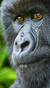 Mountain gorilla (Gorilla beringei) female portrait, Rwanda.  -  Andy  Rouse