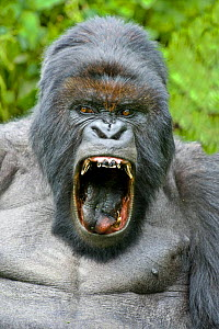 Mountain gorilla (Gorilla beringei) silverback yawning with mouth wide open. Rwanda.  -  Andy  Rouse