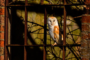 Barn owl (Tyto alba) in old window, UK, March.  -  Andy  Rouse