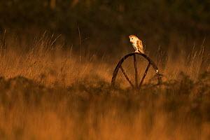 Barn owl (Tyto alba) on old wheel, Stow Maries, England, UK, March. - Andy  Rouse