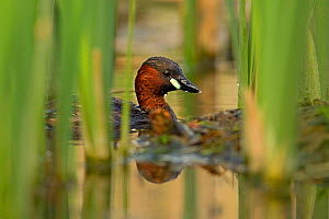 Little grebe (Tachybaptus ruficollis) by nest, UK, April. - Andy  Rouse