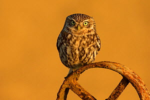 Little owl (Athene noctua) on old wheel, UK, April.  -  Andy  Rouse