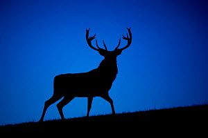 Red deer (Cervus elaphus) stag silhouetted at dusk, Wales, UK. Captive in deer park. - Andy  Rouse