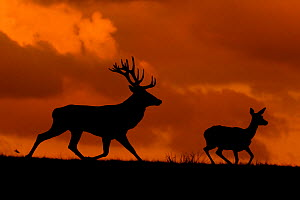 Red deer (Cervus elaphus) stag chasing hind, Wales, UK. September. Captive in Deer Park. - Andy  Rouse