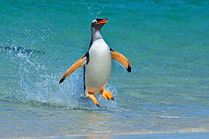 Gentoo penguin (Pygoscelis papua) jumping onto beach, Carcass Island, Falkland Islands. - Andy  Rouse