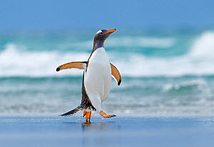 Gentoo penguin (Pygoscelis papua) walking on beach, Saunders Island, Falkland Islands. - Andy  Rouse