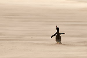 Gentoo penguin (Pygoscelis papua) in sandstorm on beach, Saunders Island, Falkland Islands. - Andy  Rouse
