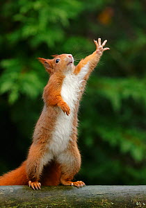 Red squirrel (Sciurus vulgaris) reaching upwards, UK. March, Captive. - Andy  Rouse
