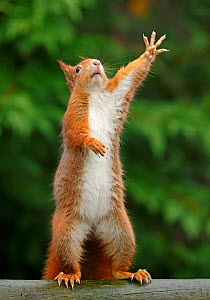 Red squirrel (Sciurus vulgaris) reaching upwards, UK. Captive. - Andy  Rouse