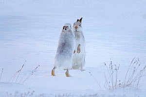 Mountain hares (Lepus timidus) boxing in snow, Scotland, UK, December. - Andy  Rouse