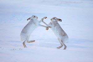 RF- Mountain hares (Lepus timidus) boxing in snow, Scotland, UK, December. (This image may be licensed either as rights managed or royalty free.) - Andy  Rouse