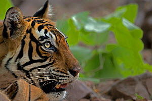 Bengal tiger (Panthera tigris) head profile portrait, Ranthambhore National Park, India. Endangered species.  -  Andy  Rouse