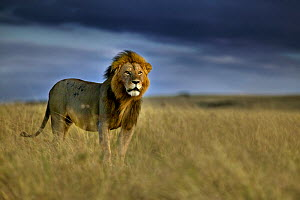 African lion (Panthera leo) on plains, Masai Mara, Kenya. - Andy  Rouse