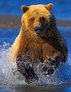 Grizzly bear (Ursus arctos horribilis) charging through river chasing salmon, Alaska, USA. Crop of 01500299.  -  Andy  Rouse