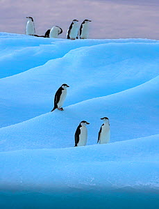Chinstrap penguin (Pygoscelis antarcticus) group on blue iceberg, Antarctica - Andy  Rouse