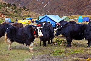 Yaks used as pack animals roped to the ground at Jangothang Campsite, Jhomolhari Trek. Bhutan, October 2014. - Kirkendall-Spring