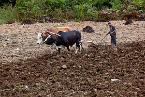 Farmer plowing field with oxen and woden plow, Paro River Valley. Bhutan, October 2014.  -  Kirkendall-Spring