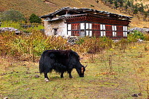 Yak and farm house, Paro River Valley along the Jhomolhari Trek, Bhutan, October 2014. - Kirkendall-Spring