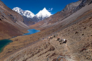 Pack horses above Tshophu lakes on the asent to Bhonte La Pass (4,380m/16,00ft) the high point of Jhomolhari Trek. Bhutan, October 2014.  -  Kirkendall-Spring