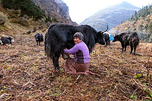 Woman milking a yak at a herders camp, near Soi Yaksa Valley along the Jhomolhari Trek. Bhutan, October 2014. - Kirkendall-Spring
