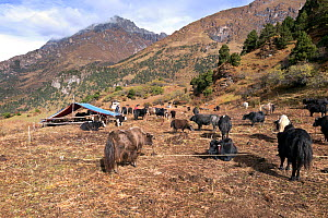 Yak herders camp near Soi Yaksa Valley, along the Jhomolhari Trek. Bhutan, October 2014. - Kirkendall-Spring