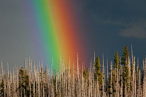 Rainbow over burnt forest along the Three Finger Jack trail, Mount Jefferson Wilderness, Deschutes National Forest. Oregon, USA, July 2014.  -  Kirkendall-Spring